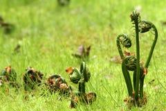 fiddlehead папоротников Стоковая Фотография