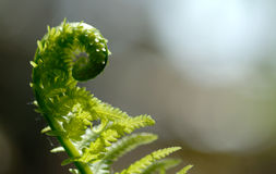Fiddlehead 2. Macro of partially opened fiddlehead royalty free stock images