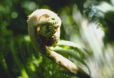Fiddlehead Royalty Free Stock Images
