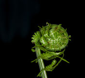 Fiddlehead Images stock