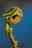 Fiddlehead Stock Images