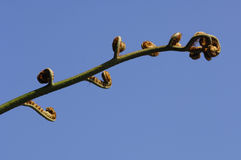 Fiddlehead fern. On blue sky Royalty Free Stock Images