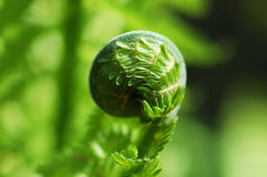 Fiddlehead fern Royalty Free Stock Photography