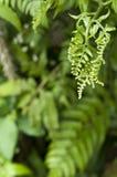 Fiddlehead fern. Stock Image