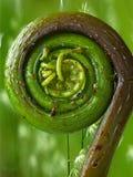 Fiddlehead Fern. A fiddlehead fern emerging in spring stock photo