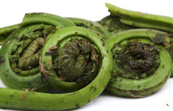Fiddlehead Ferns Royalty Free Stock Photos