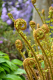 Fiddlehead ferns Stock Photo