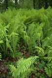 Fiddlehead Ferns. On the floor of a boreal forest in Alaska Royalty Free Stock Photos