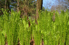 Fiddlehead ferns in spring grove Royalty Free Stock Photography