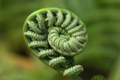 Fiddlehead Macro Royalty Free Stock Photo