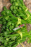 Fiddlehead, material of a famous Chinese flavor dish.  Stock Photos
