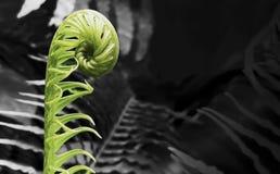 Fiddleheadormbunke på svartvit bakgrund Royaltyfri Foto