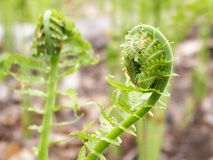 Fiddleheads. Image of fiddleheads (young ferns) about to uncurl in spring Stock Image