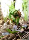 Fiddleheads. Image of fiddleheads (young ferns) about to uncurl in spring Royalty Free Stock Image
