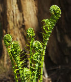 Fiddleheads Forest Stock Photo