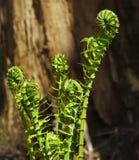 Fiddleheads Lasowi Zdjęcie Stock