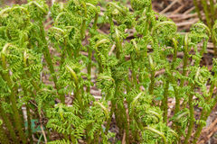 Fiddleheads of unfurling Ostrich fern grown in the forest in Aus Stock Photos