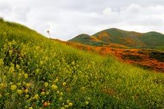 Fiddlenecks Amsinckia线步行者峡谷小山在鸦片和野花superbloom期间的湖埃尔西诺加利福尼亚, 库存照片