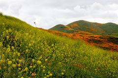 Fiddlenecks Amsinckia line the hills of Walker Canyon in Lake Elsinore California, during the poppy and wildflower superbloom. Fiddlenecks Amsinckia line the stock photo