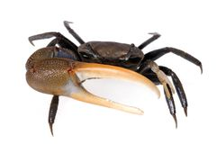 Fiddler Crab 1. A fiddler crab on a white background raises his big claw at the viewer royalty free stock images