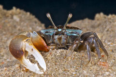 Fiddler crab. A fiddler crab, sometimes known as a calling crab, may be any of approximately 94 species of semi-terrestrial marine crabs which make up the genus Stock Image