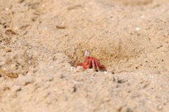 Fiddler Crab Royalty Free Stock Image
