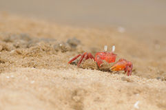 Fiddler Crab Royalty Free Stock Photos