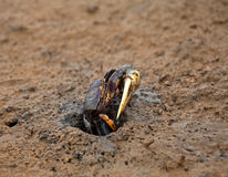 Fiddler Crab Stock Photography