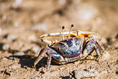 Free Fiddler Crab Stock Photos - 52775923