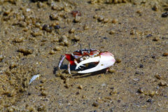 Fiddler crab - africa, madagascar Stock Photography