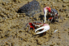 Fiddler crab - africa, madagascar Royalty Free Stock Photo
