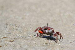 A fiddler crab on the beach Royalty Free Stock Photos