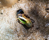 Fiddler crab or Calling crab Royalty Free Stock Images