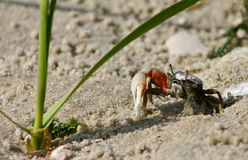 Fiddler Crab. Close-up shot of a fiddler crab on the beach of a small island along the intercostal waterway Stock Images