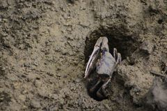 Fiddler crab. Or Decapod crustacean at alert in its hole royalty free stock photos