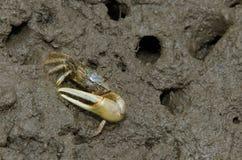 Fiddler Crab stock photos