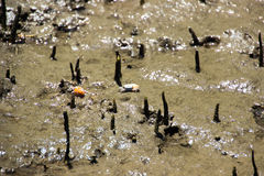 Fiddler crab lives in the mangrove forest. Royalty Free Stock Image