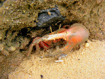 Fiddler Crab at Mangrove Forest Royalty Free Stock Photography