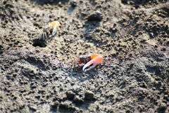 Fiddler crab in mangrove forest Stock Photo