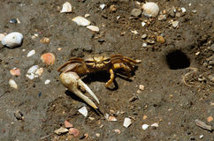 Fiddler Crab next to its hideout hole royalty free stock image