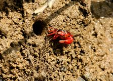 Fiddler crab out from burrow. A red fiddler crab emerges out of its burrow stock photography