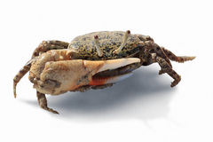 Fiddler crab of Red sea. Isolated on white Stock Images