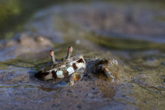 Fiddler Crab. A fiddler crab rests on Langkawi Royalty Free Stock Images