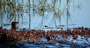 Fiddler Crab Run. Fiddler Crabs gathered together at low tide in the mud flats of Millennium Park in Seminole, FL Stock Photography