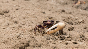 Fiddler crab in the sand Stock Image