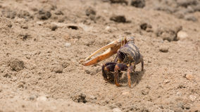 Fiddler crab in the sand Stock Photo