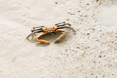 Fiddler crab Royalty Free Stock Photography