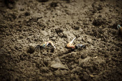2 Fiddler crab. Two fiddler crab flight in clay Royalty Free Stock Images