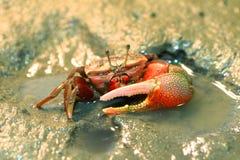 Fiddler crab stock image