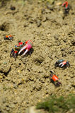 Fiddler crab-Uca chlorophthalma crassipes, Okinawa Prefecture/Ja Royalty Free Stock Photo
